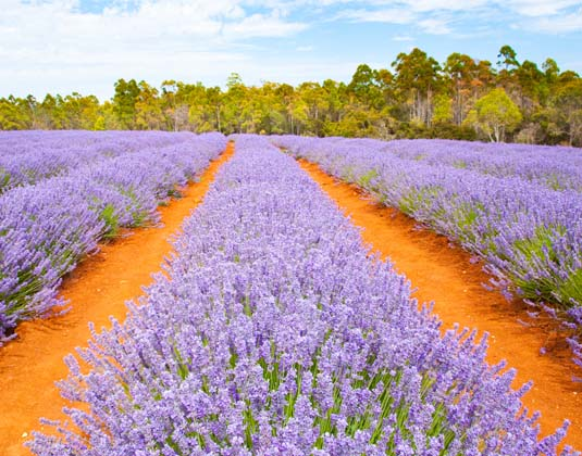 Tasmania_Lavender_farm.jpg