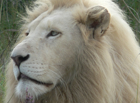 Pumba_-White_Lion.jpg