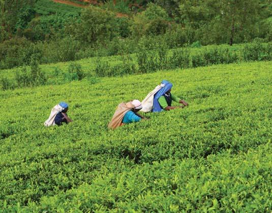 Three_tea_pickers.jpg