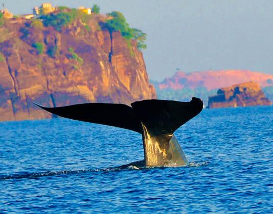 Trinco_Blu_by_Cinnamon_-_Whale_Watching.jpg