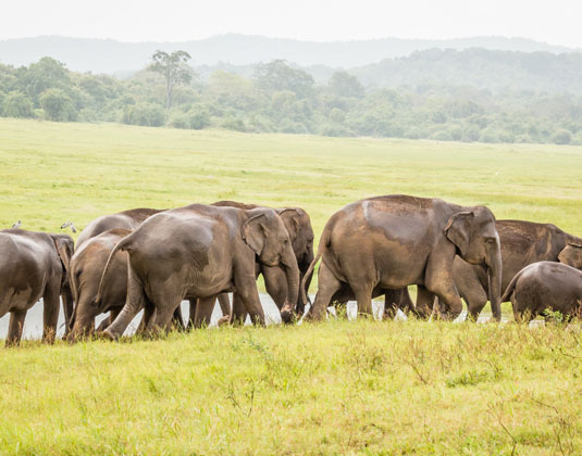 Elephant herd grazing at Minneriya National Park