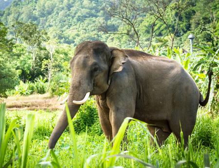 Chiang_Mai_Elephant.jpg