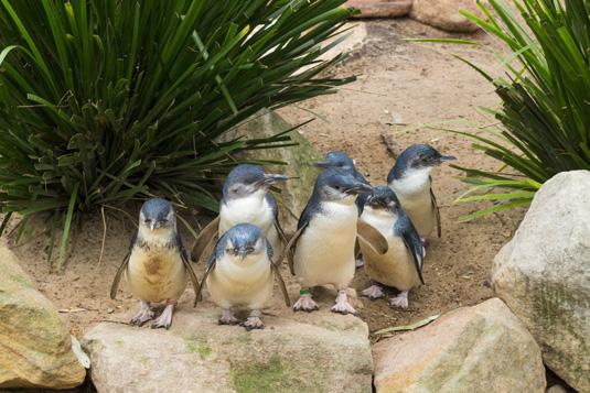 Philip_Island_penguins_shutterstock_389086681.jpg