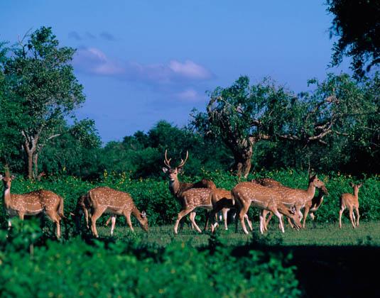 Yala_Red_Deer.jpg