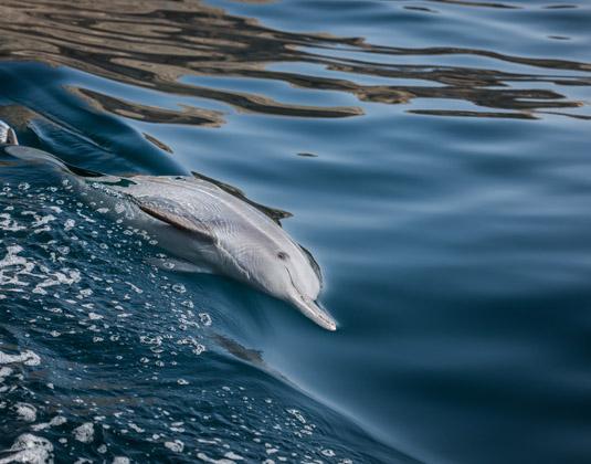 Bottlenose dolphins swim