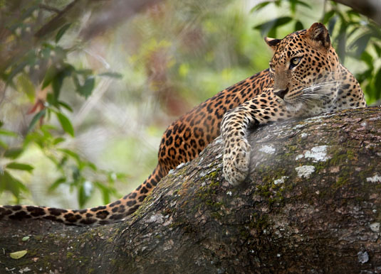 Wilpattu_National_Park_Leopard.jpg