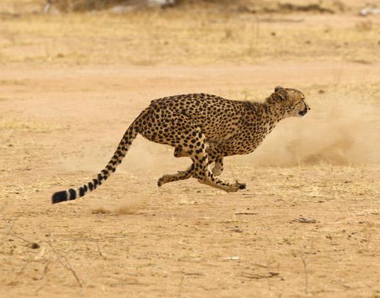Kruger_Cheetah.jpg