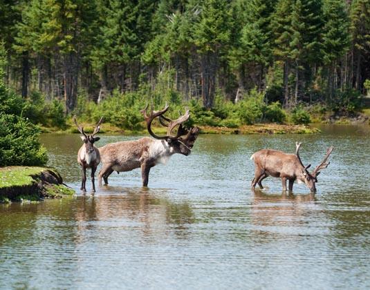 Woodland_caribou_Splendid_Nature_of_Quebec.jpg