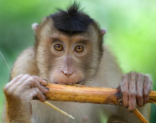 KInabalu macaque