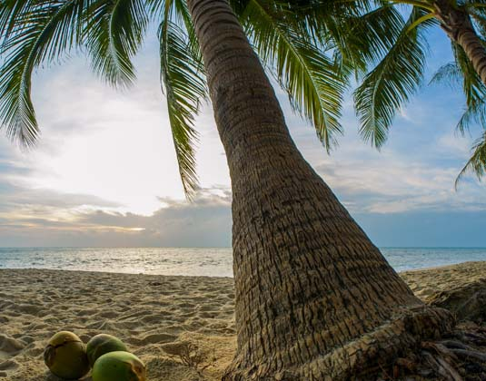 Bali Palm tree