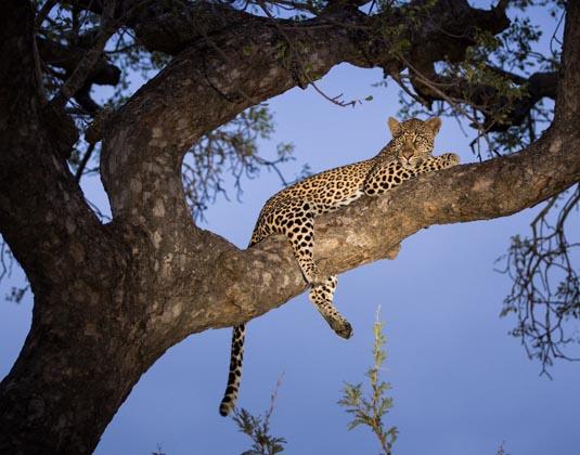 Kruger_Leopard.jpg